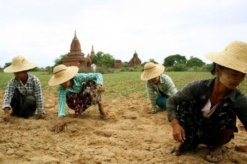 Women work in the field, Myanmar