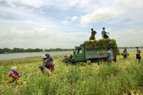 It's harvest time for the sesame seeds, Mandalay, Myanmar