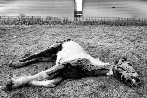 Dead horse, innocent victim of recession, Dublin