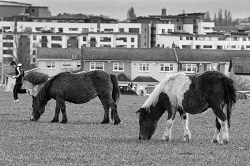 Horses graze in urban area, Dublin