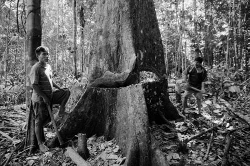 003. Matses cut thetree